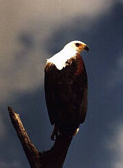 Fish eagle (courtesy the Walkers)