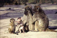 Chacma baboons (courtesy Hans Martens)