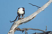Fish Eagle (courtesy Jeremy Woodhouse)