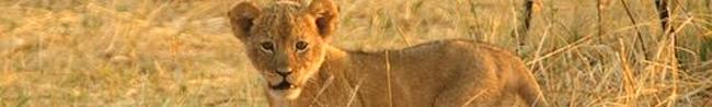 Lion cub Hwange National Park