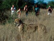 Cheetah, leopard and hyena tracking
