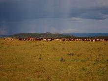 Maasai cattle on the Mara