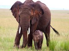 Elephant and baby Masai Mara