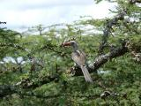 Hornbill on the Laikipia