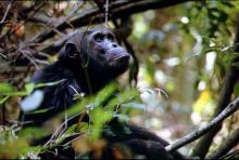 Mahale Chimp
