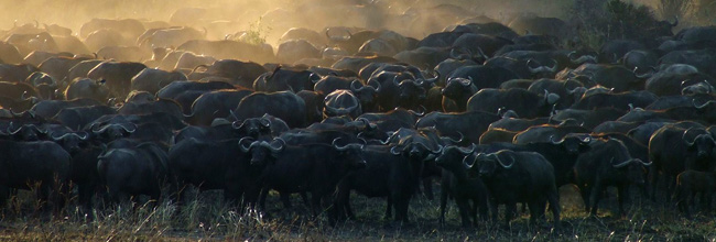Herds of buffalo passing through the Okavango, Botswana