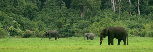 Forest elephant in a clearing in Loango