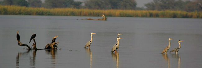 Grey herons dotting the waters of the mighty Zambezi