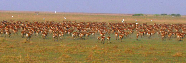 Impala are bountiful on Bangweulu Swamp