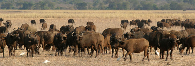 A beautiful buffalo herd in Lower Zambezi