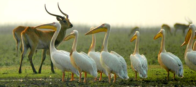 Pelicans are amongst the excellent birds of Kafue