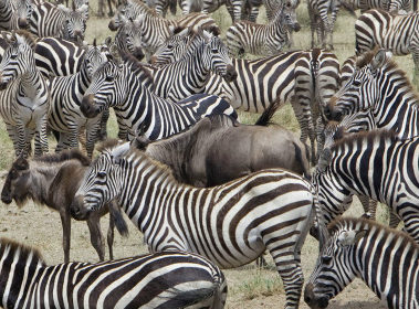 serengeti migration - zebra and wildebeest