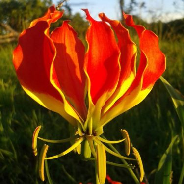 Flame lily the national flower of zimbabwe flame lily mightylinksfo