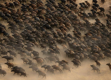 Aerial view of a buffalo herd in Zakouma, Chad. Thanks to Michael Viljoen, African Parks.