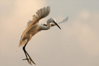 British Bird Fair Egret Murchison Falls NP