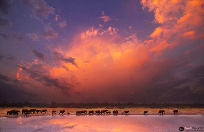 Tusks at dusk by Tami Walker