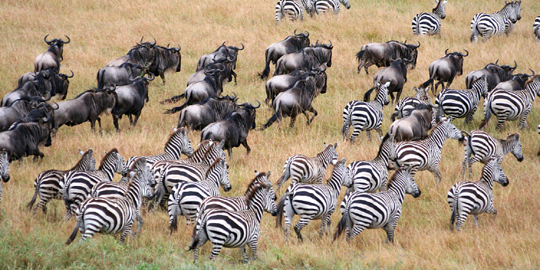 Wildebeest and Zebra on the move with one of our migration safaris