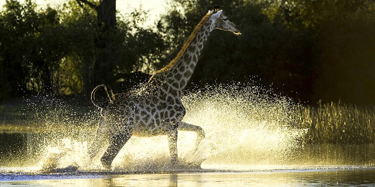 Botswana Classic Duma Tau giraffe in the Okavango by Dana Allen courtesy Wilderness Safaris