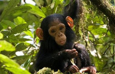 Day 9 - Kibale Forest - Chimp trekking