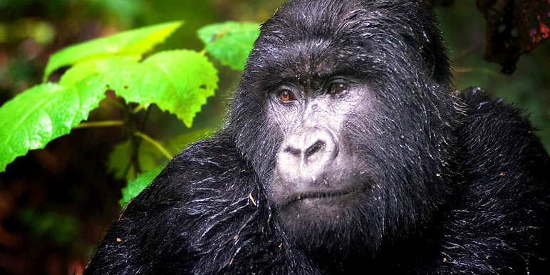 Mountain gorilla trekking with Billy Dodson