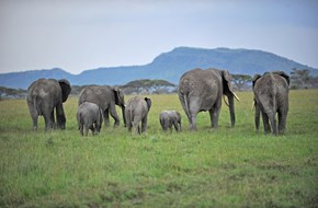 Tarangire elephants courtesy John Lamphee
