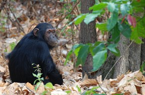 Mahale chimp courtesy Rudi Berkelhamer