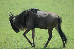 blue wildebeest courtesy John Berry
