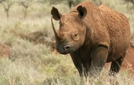 A rare black rhino roams the Laikipia near Borana