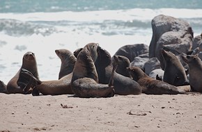 Cape seals on the Skeleton Coast by Trish Berry