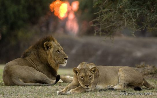 Best places to see lions in the wild