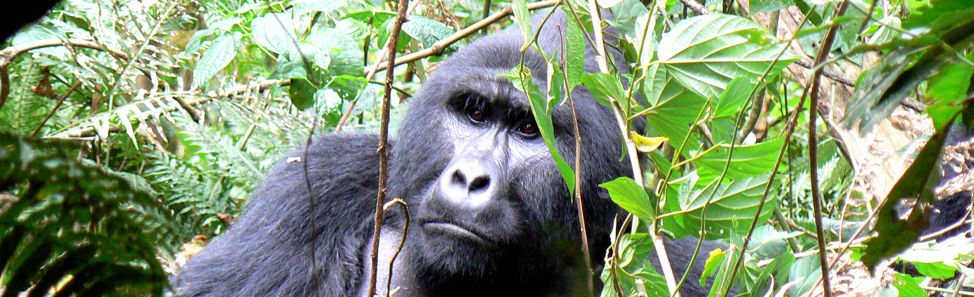 Pensive Mgahinga silverback on a mountain gorilla trek