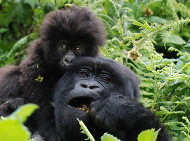 See mountain gorillas in Rwanda Courtesy Tim Henshall
