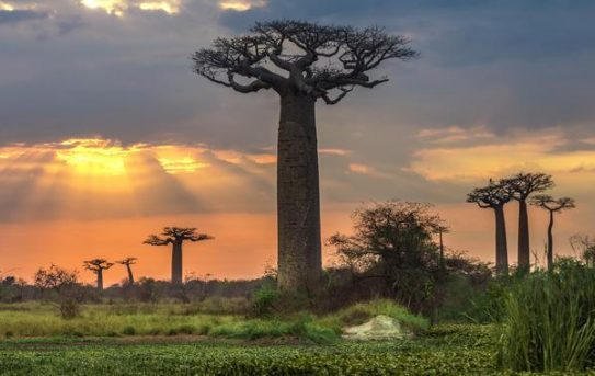 Avenue of the Baobabs courtesy WETU
