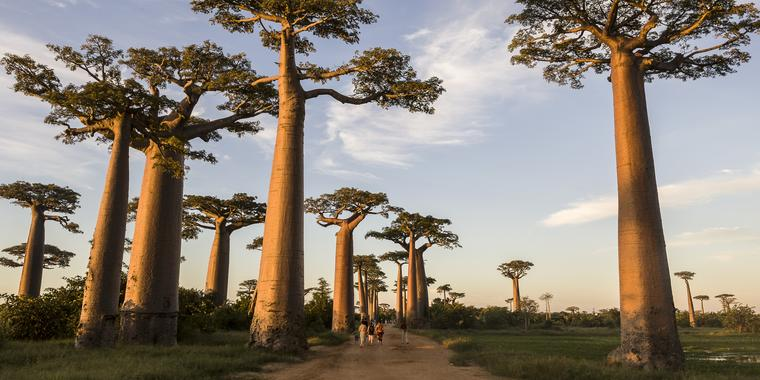 Avenue of the baobabs_Courtesy WETU