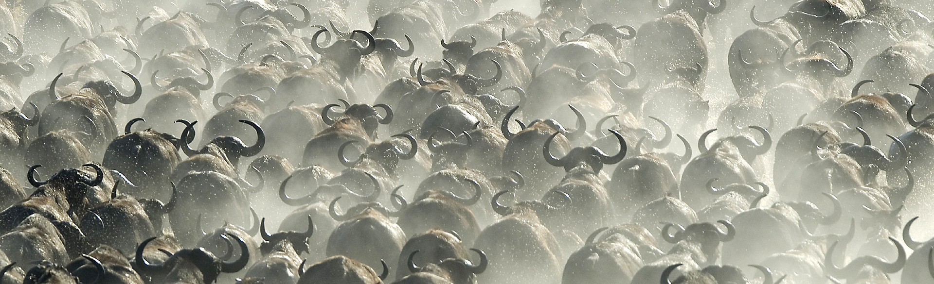Kafue buffalo herd by Dana Allen courtesy Wilderness Safaris