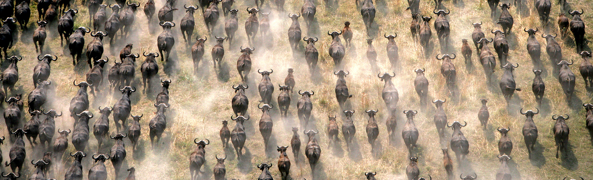 Buffalo stampede near Selinda Camp courtesy Hilton Walker
