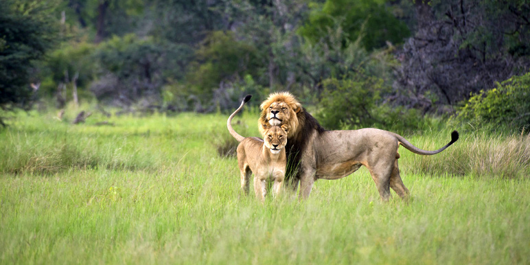 Lion pair at Davisons in the green season by Mike Myers in Hwange courtesy Wilderness Safaris