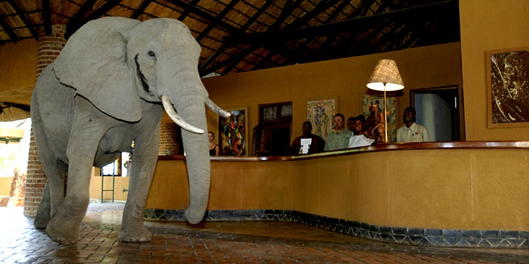 Elephant passing through Mfuwe Lodge by Andy Hogg