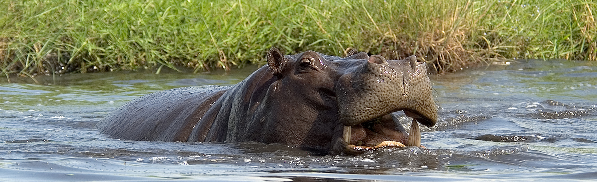 Chobe hippo courtesy Brent Williamson