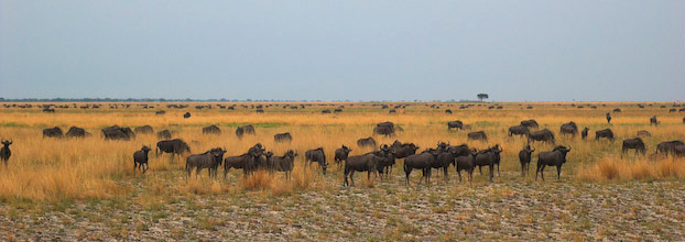 liuwa blue wildebeest Courtesy Martin Cox