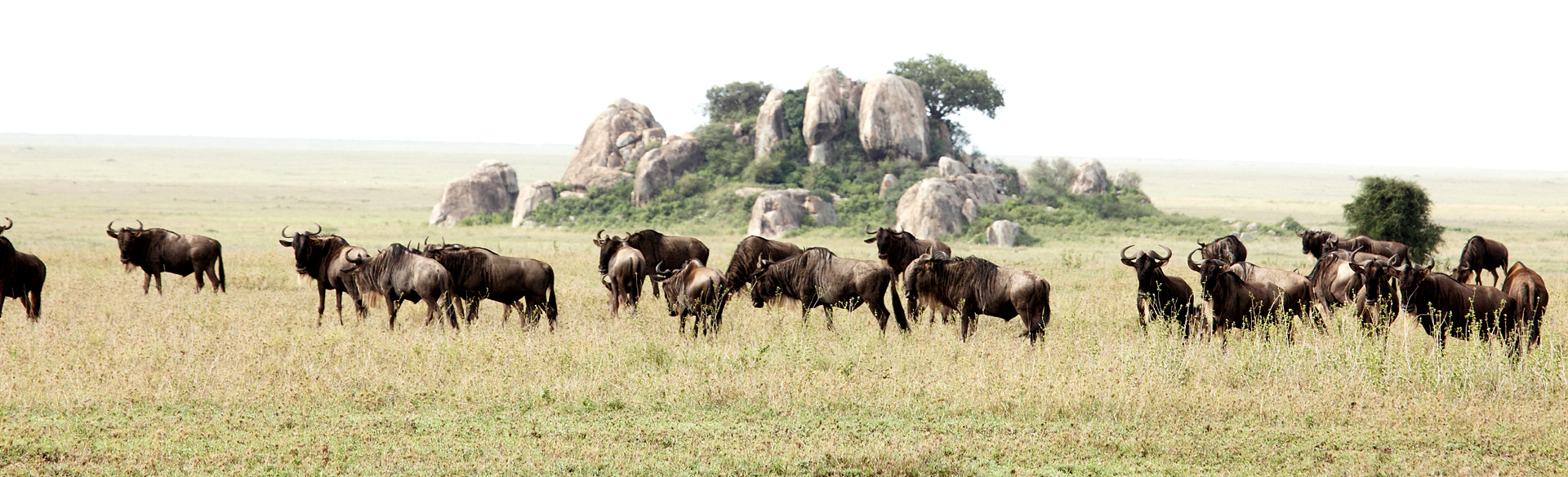 Wildebeest near Moru Kopjes after the long rains courtesy Gordie Owles and Asilia