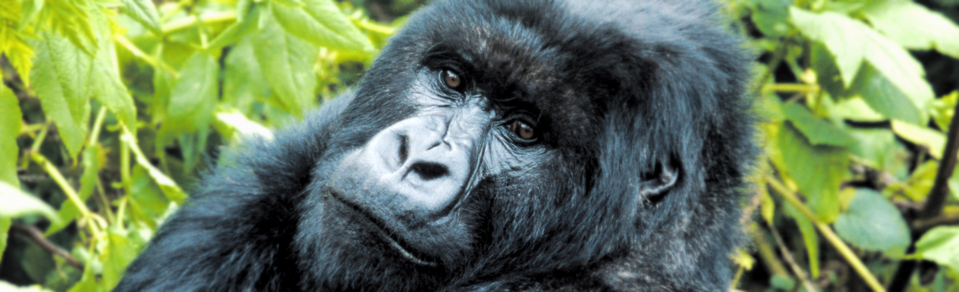 Mountain gorilla portrait courtesy Julie Brenner