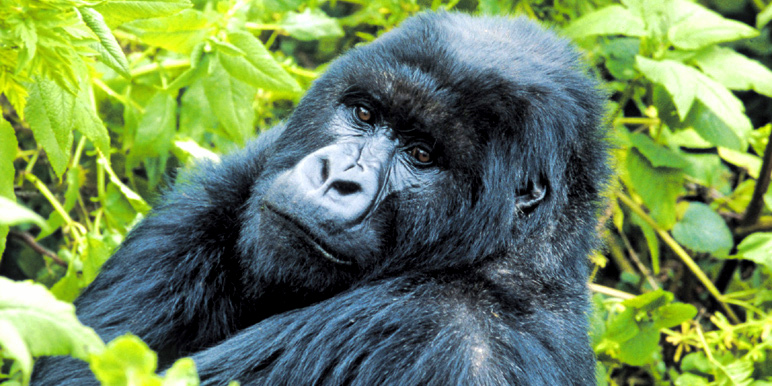 Easy gorillas in Rwanda courtesy Tim Henshall