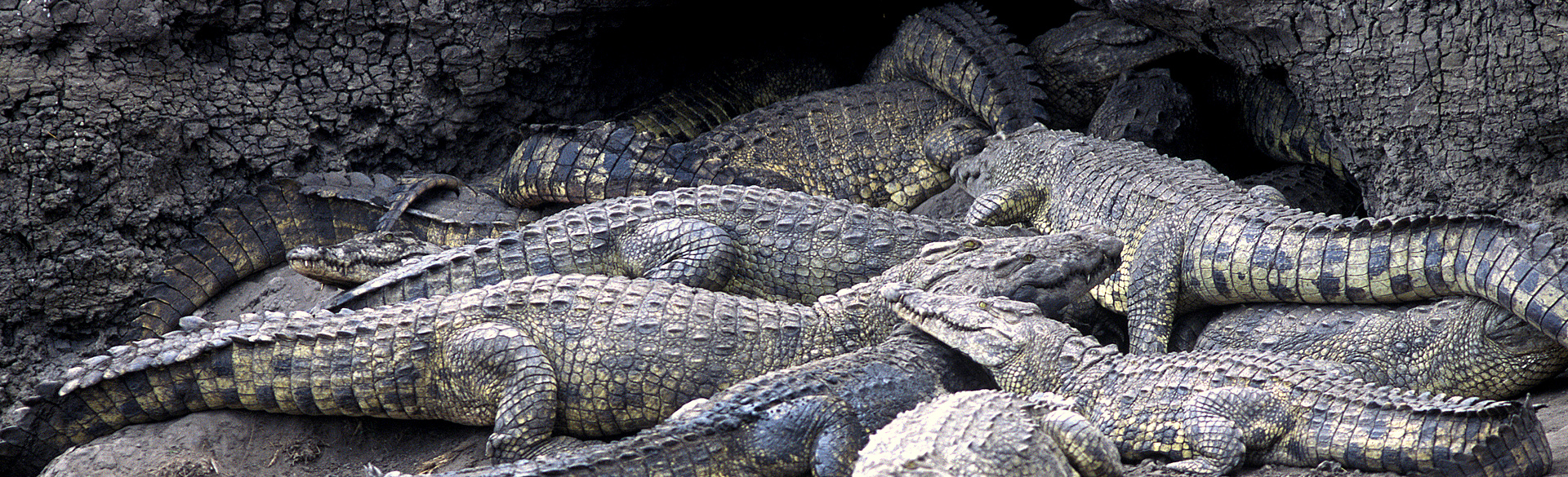 A menacing pile of crocodiles in Katavi courtesy Nomad Safaris