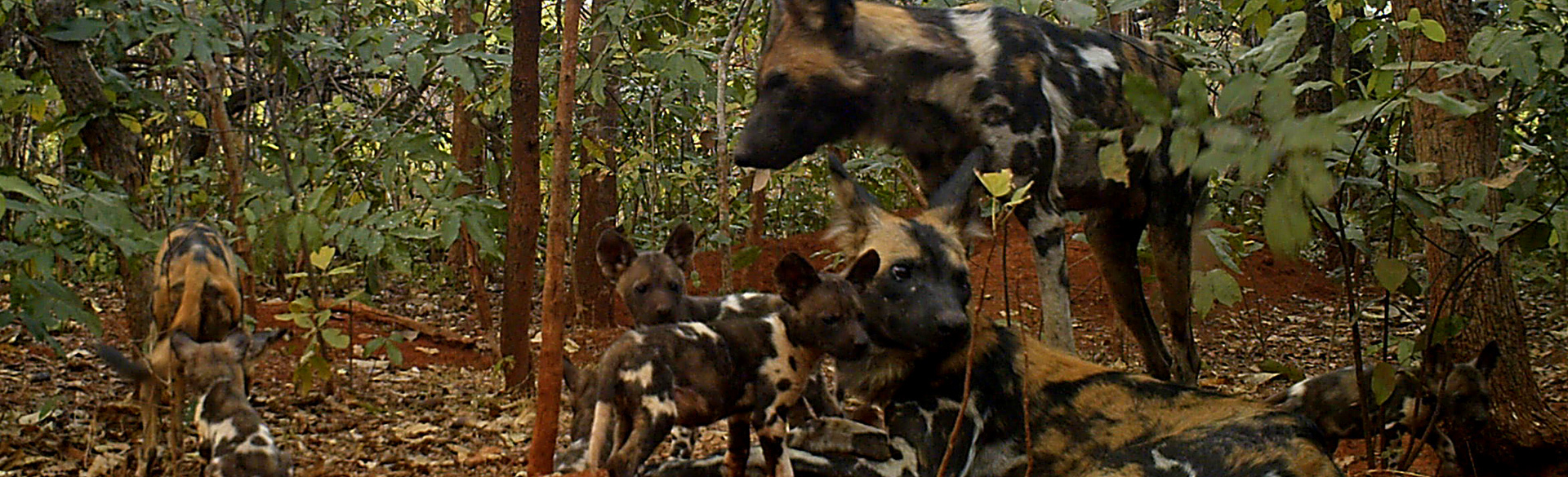 Wild dog by Thierry Aebischer camera trap courtesy Chinko Project APN CAR