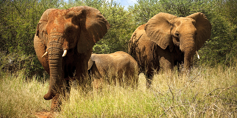 Kruger elephants courtesy MORE