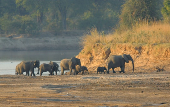 Luangwa elephant crossing Courtesy Chris Hornaman