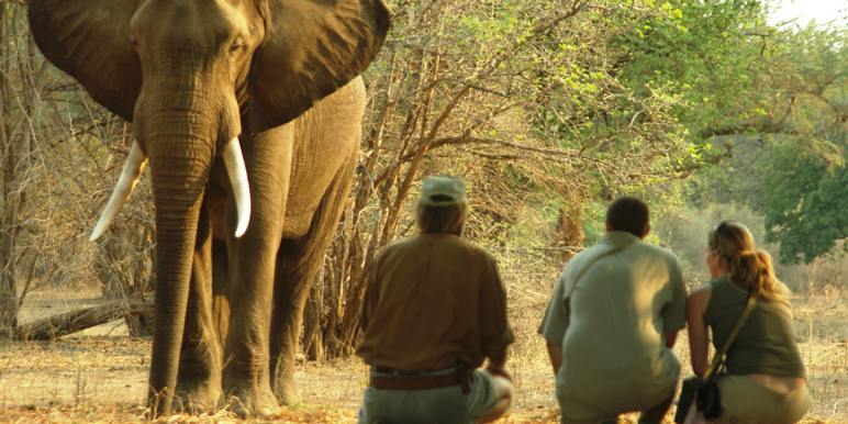 Elephant encounter on foot in Mana Pools courtesy Stretch Ferreira