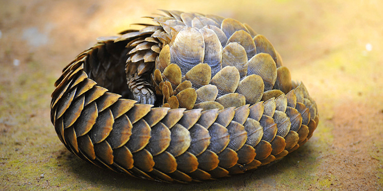 Dzanga-Ndoki Pangolin courtesy Tim Henshall of Kamili