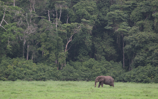 Forest elephant on edge of rainforest by Trish Berry